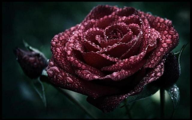 Dark-roses