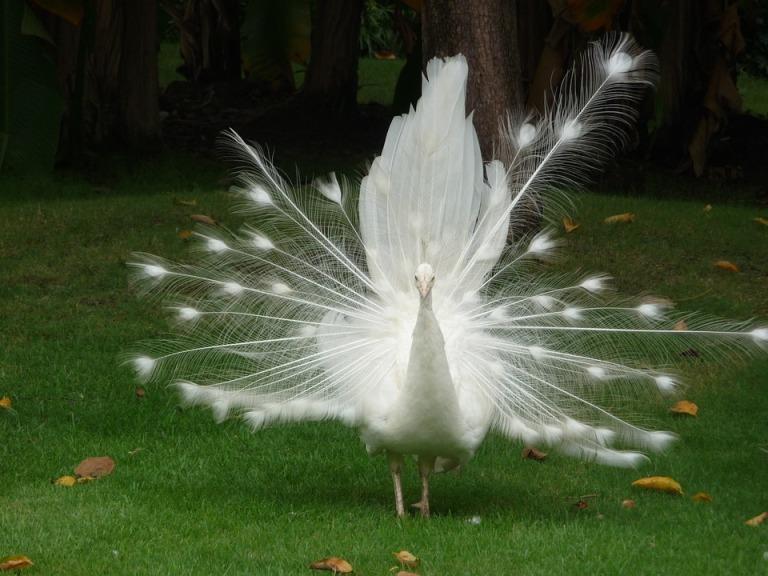 peacock-766585_960_720