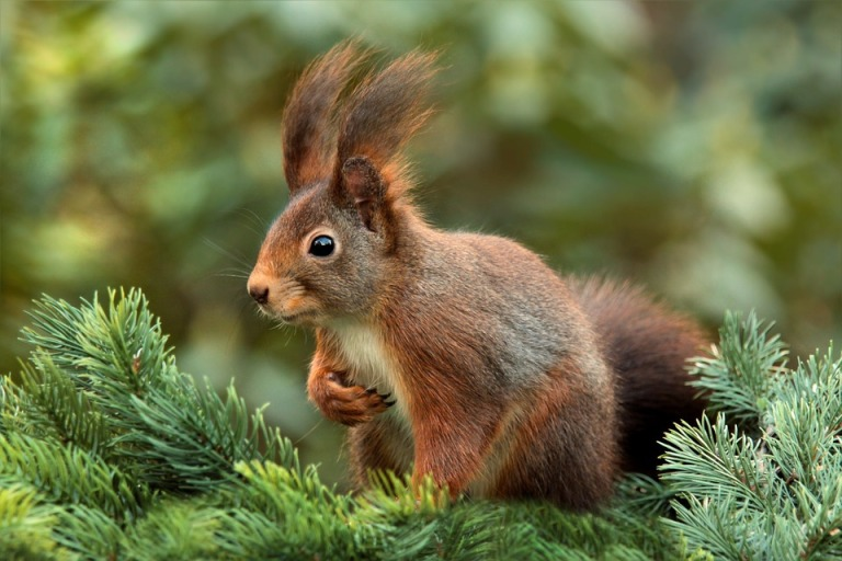 squirrel-619968_960_720