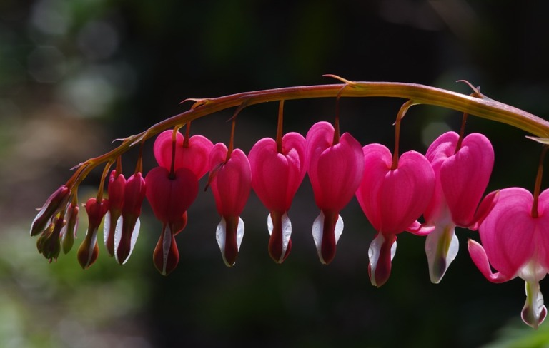 bleeding-hearts-724796_960_720