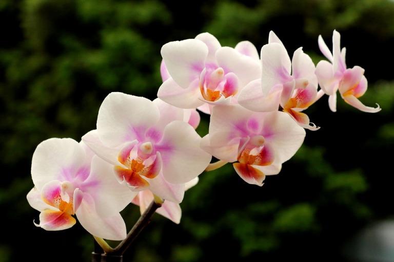 orchids-1590724_960_720
