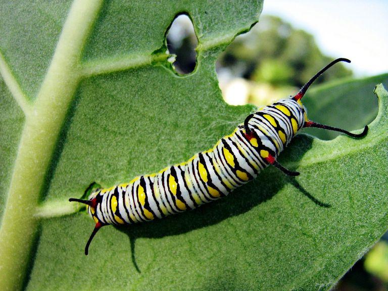 1280px-monarch_butterfly_caterpillar