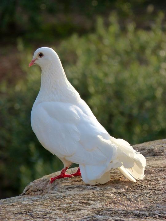white-dove-931495_960_720
