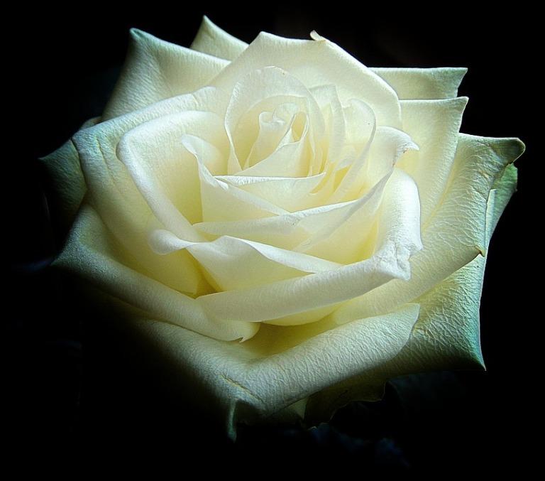 white-rose-1811844_960_720.jpg