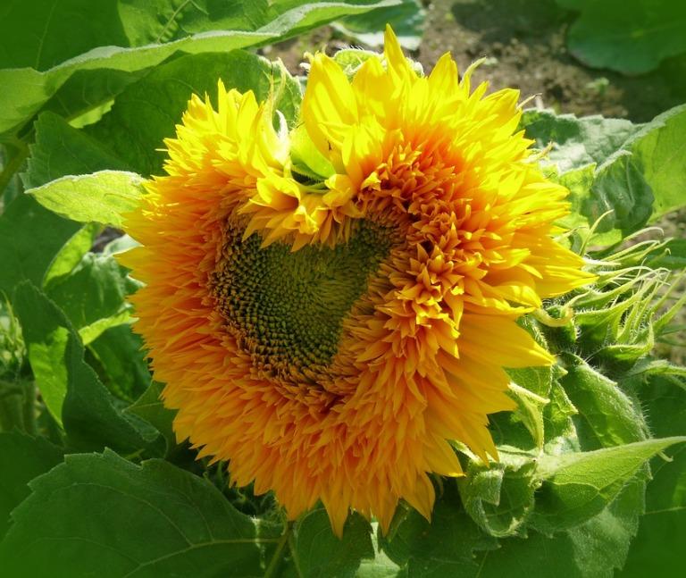 sun-flower-627456_960_720