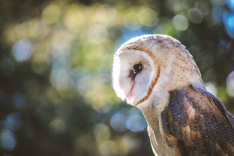 barn-owl-1247122_960_720