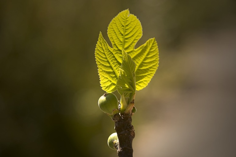 fig-tree-2386274_960_720