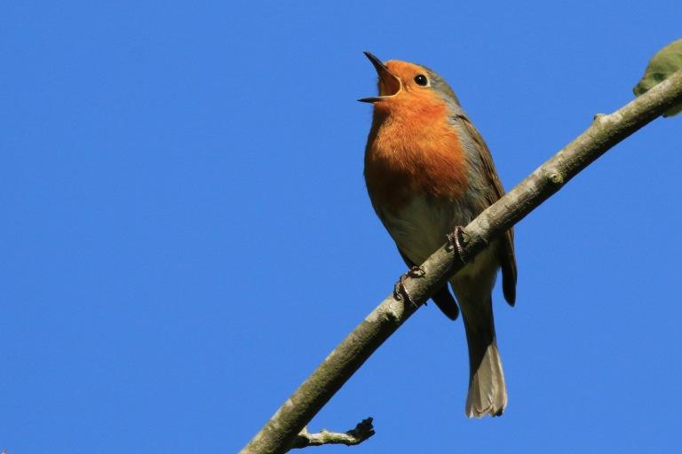European_Robin_(erithacus_rubecula)_singing