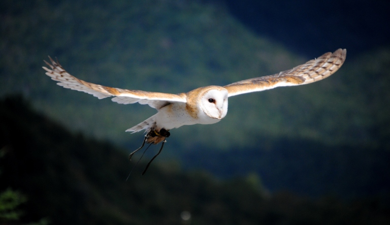 Barn_Owl_flying