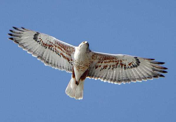 Buteo_regalis_-California_-flying-8b-4c