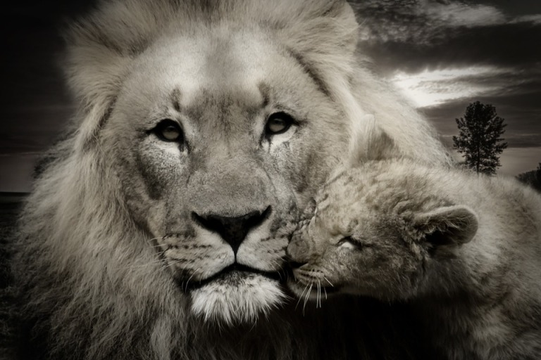 lion-608251_960_720