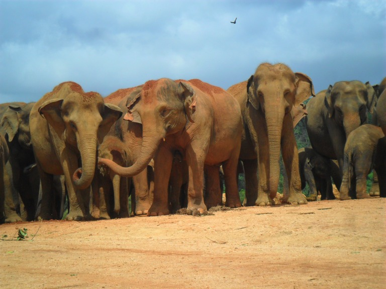 Asian_Elephants_Walking_together_04