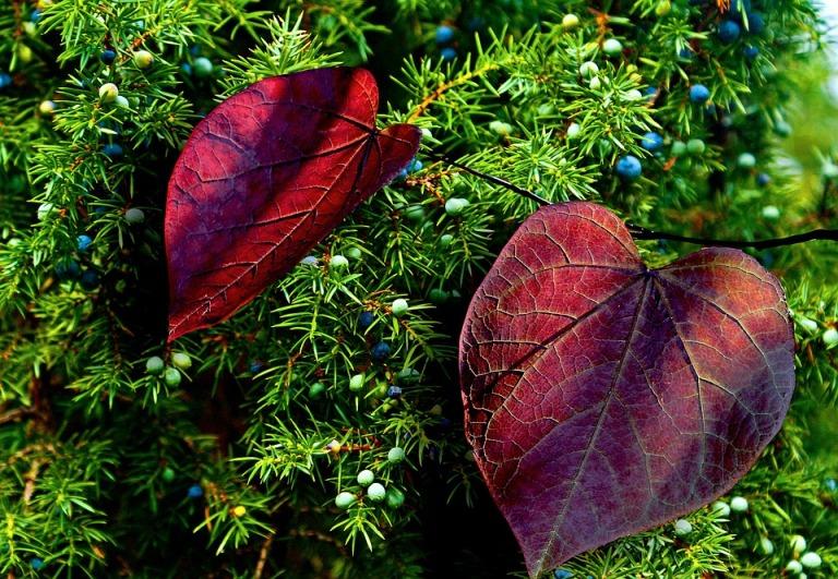 Colorful Juniper Fruit Autumn Foliage Juniper