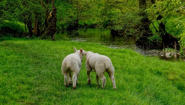 lambs-1494032_640