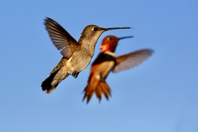 Flying Hummingbird Wings Hummingbird Bird