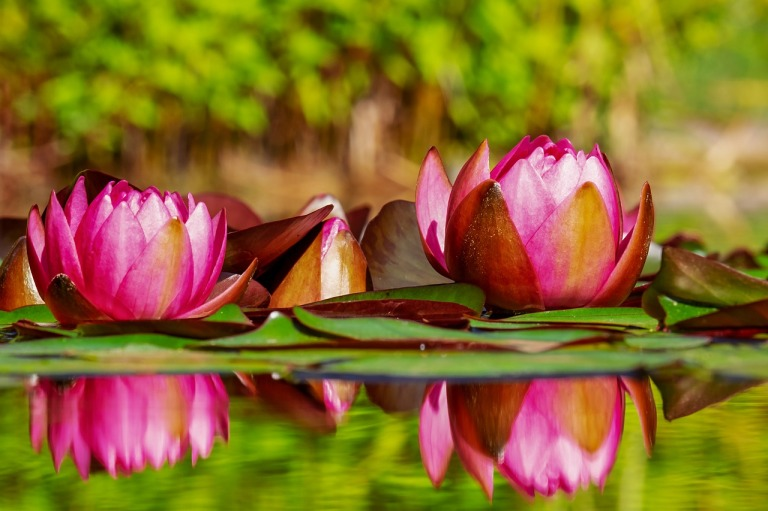 water-lilies-3491870_1280