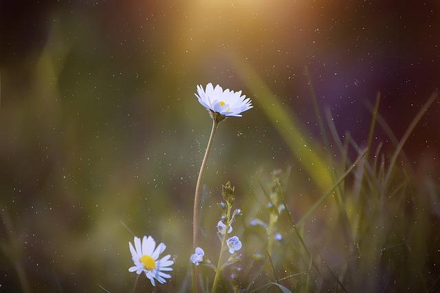 daisy-2400049_640