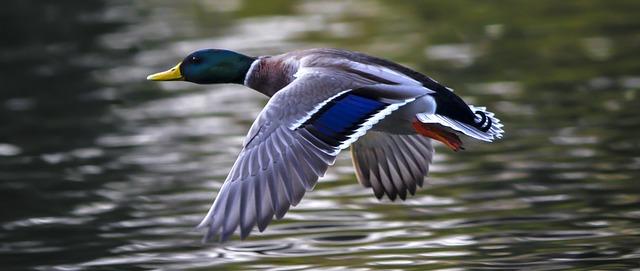 duck-2824378_640
