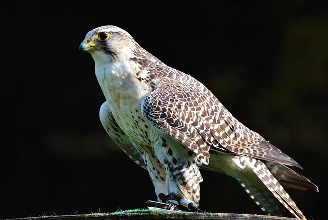 falcon-3023733_640