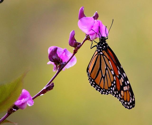 monarch-butterfly-60824_640