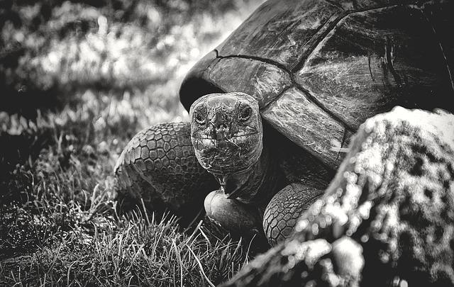 giant-tortoise-3782239_640