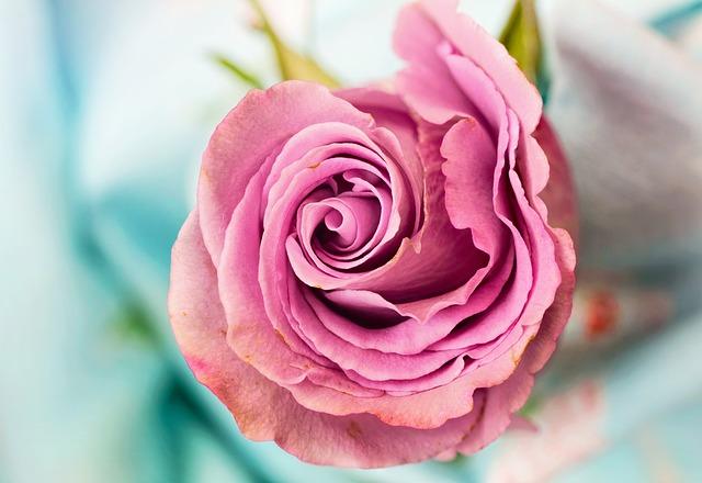 rose-3142529_640