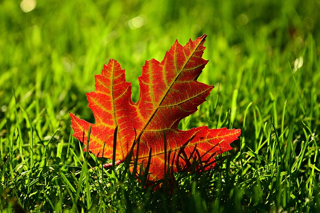 maple-leaf-3680684_640