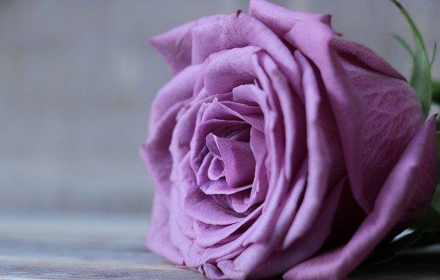 rose-2548784_640