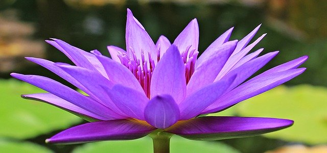 water-lily-1585178_640