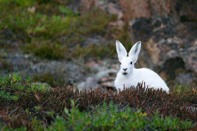 arctic-hare-828994_640